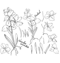 black and white orchid vector image