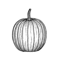 ink sketch of pumpkin vector image