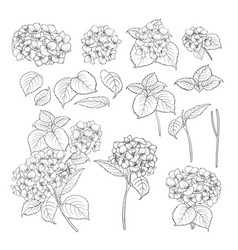 Black contour of hydrangea vector