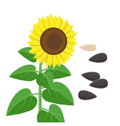 sunflower with green leaves and seeds in flat vector image