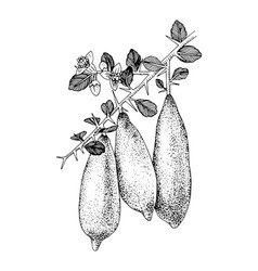 Hand drawn blooming branch finger limes vector