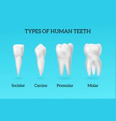 realistic teeth types set vector image