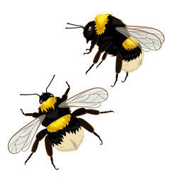 Set two bumblebees isolated on a white vector