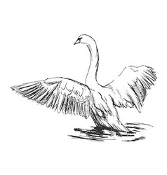 Hand sketch swan taking off vector image