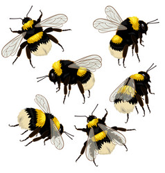 Set bumblebees isolated on white background in vector