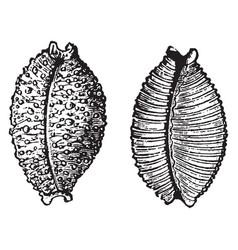 Cypraea nucleus vintage vector