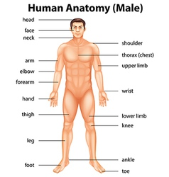 Human body parts vector image vector image
