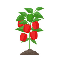 Bell pepper plant with ripe fruits growing in the vector