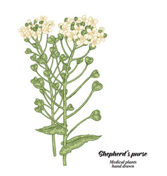 Hand drawn shepherds purse plant isolated on vector