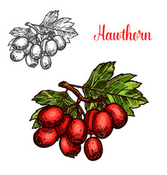 Hawthorn fruit branch sketch with ripe red berry vector
