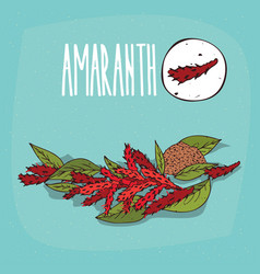 set of isolated plant amaranth flowers herb vector image