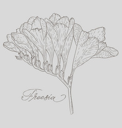 abstract line art freesia flower with color vector image