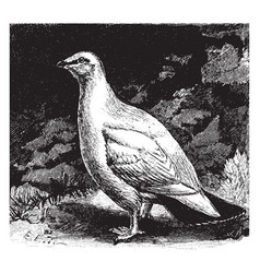 Rock ptarmigan vintage vector