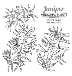 juniper branches set on white background vector image
