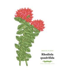 rhodiola quadrifida branch isolated on white vector image