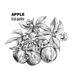 sketch of apple vector image