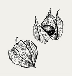 physalis fruit drawing golden berry sketch vector image