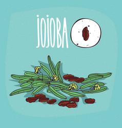 set of isolated plant jojoba seeds herb vector image