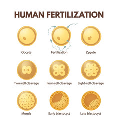 human fertilization vector image