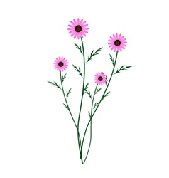 Purple Daisy Blossoms on A White Background vector