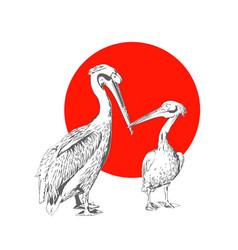 pelicans vector image