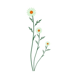 Green Daisy Blossoms on A White Background vector image vector image