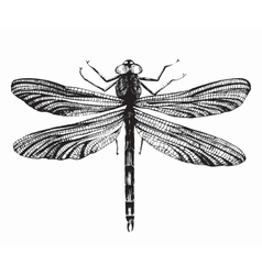 Black dragonfly on white background vector image