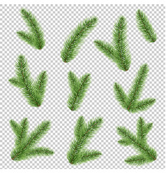 fir-tree branch isolated transparent background vector image