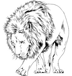 big lion with mane is painted with ink vector image