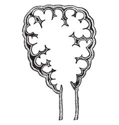 Pulmonary lobule vintage vector