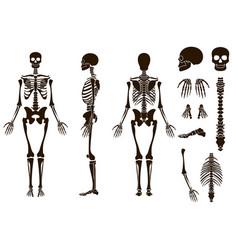 human bones skeleton structure elements set skull vector image vector image