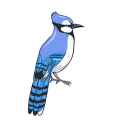 Blue jay sitting isolate on a white background vector