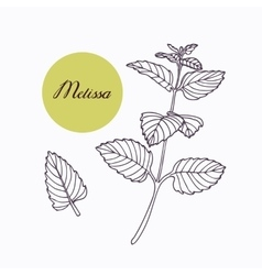Hand drawn melissa branch with leaves isolated on vector image