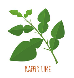 fresh green aromatic kaffir lime leaf vector image