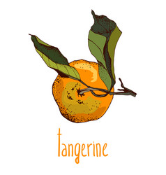 hand drawn painted citrus vector image
