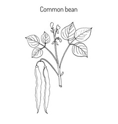 Common bean phaseolus vulgaris vector