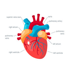 Human heart icon in flat style vector
