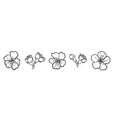 blooming sakura hand drawn cherry flower isolated vector image