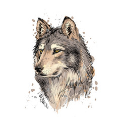 Portrait a wolf head from a splash vector