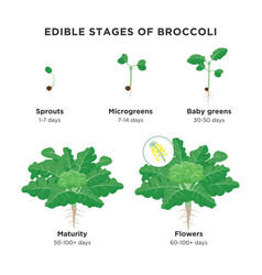 Edible stages of broccoli infographic elements in vector