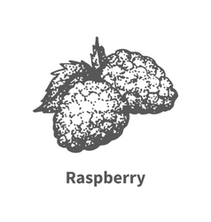 Hand-drawn raspberry vector