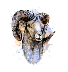 bighorn sheep mountain sheep from a splash of vector image