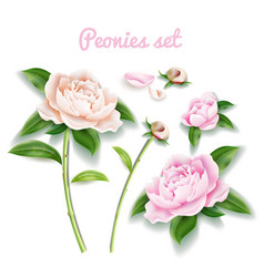 peony flower set buds blossom leaf petal vector image
