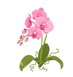 Pink purple orchid phalaenopsis flower isolated vector