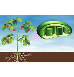 Plant cell anatomy vector image