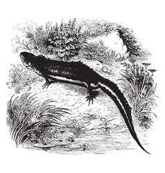 Common warty newt vintage vector