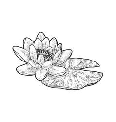 Lotus nelumbo flower sketch vector