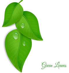 Green leaves with water drops vector image vector image