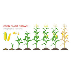 Corn growing stages in flat vector
