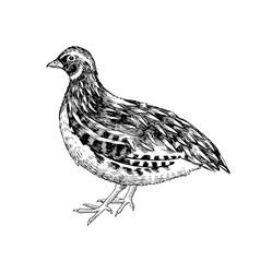 Hand drawn quail vector